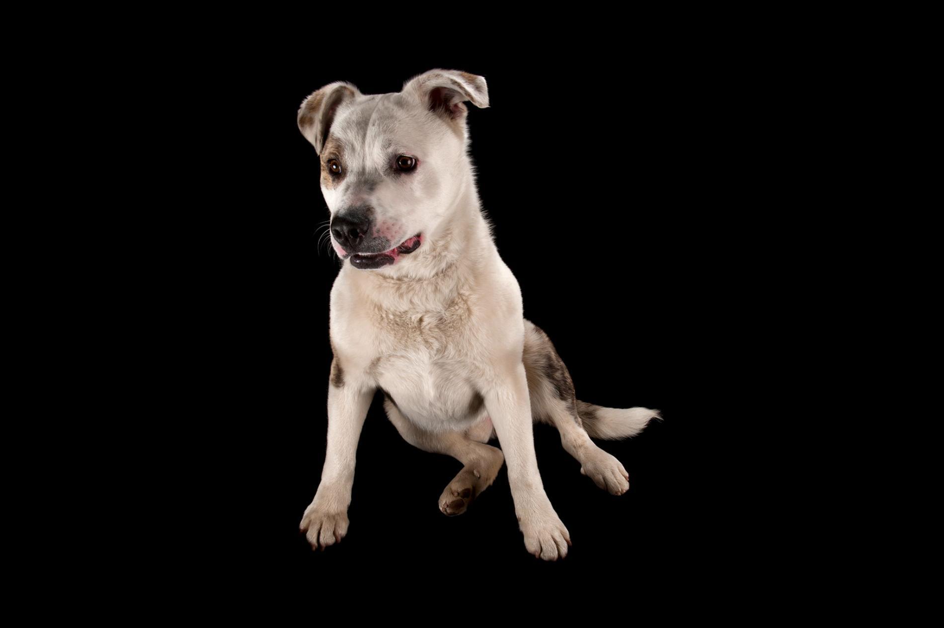 一隻秋田犬與比特犬混種