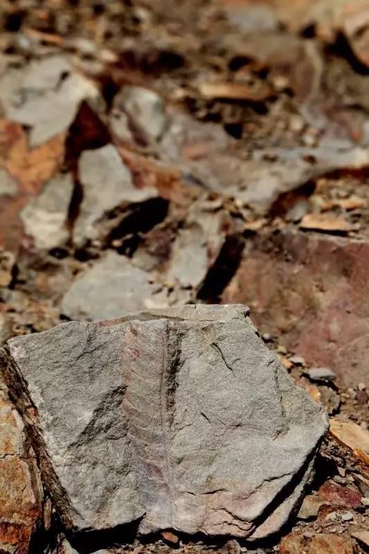 足跡化石點發現的蕨類植物化石。攝影:邢立達