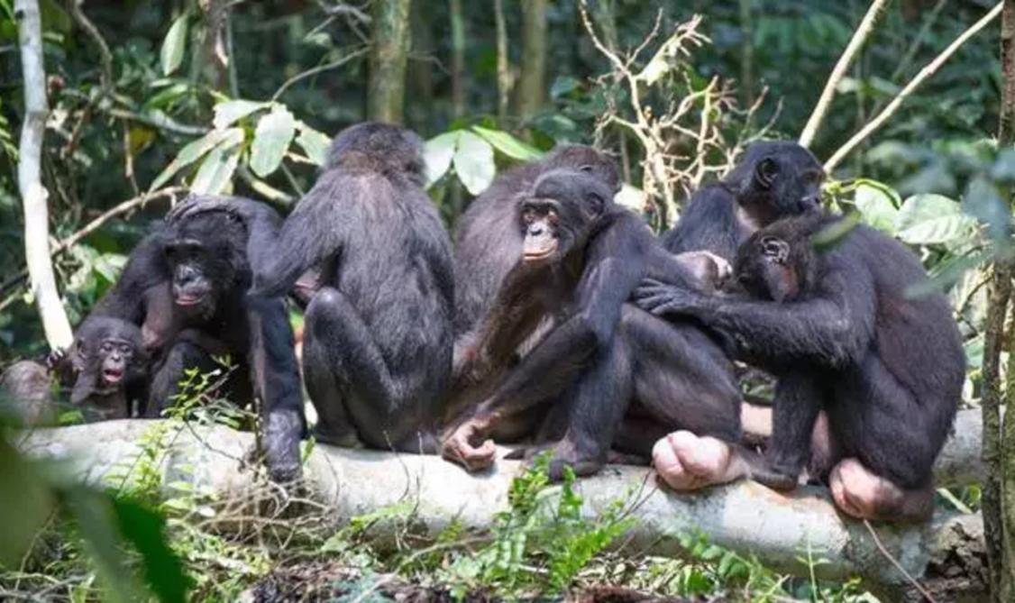 盧奧科學保護區裡一群雌性倭黑猩猩互相打理,剛果民主共和國(攝影| Image courtesy of Takeshi Furuichi)