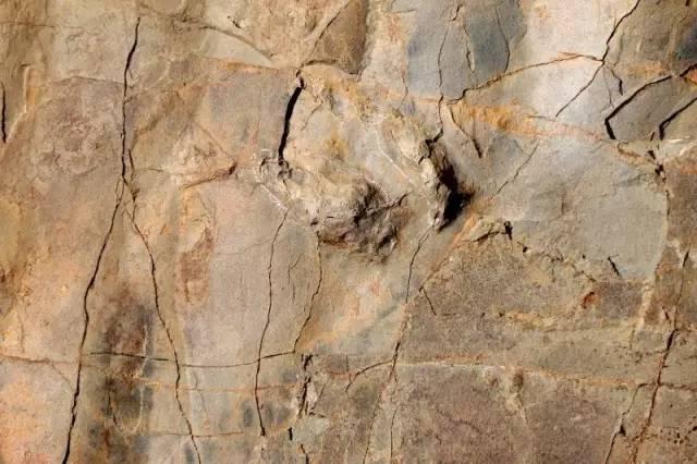 一個保存完好的恐爪龍類足跡。攝影:邢立達
