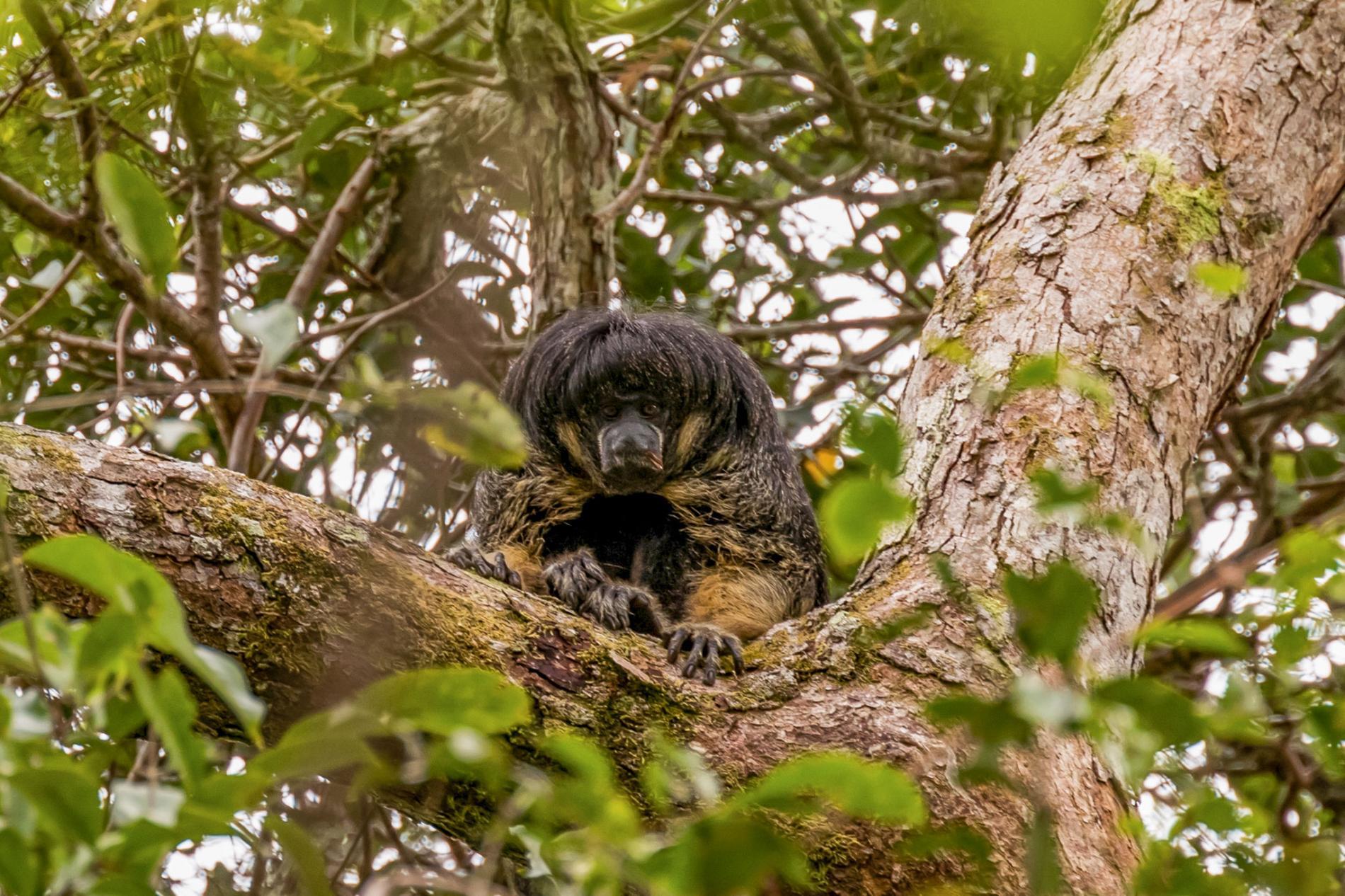 亞馬遜僧面猴