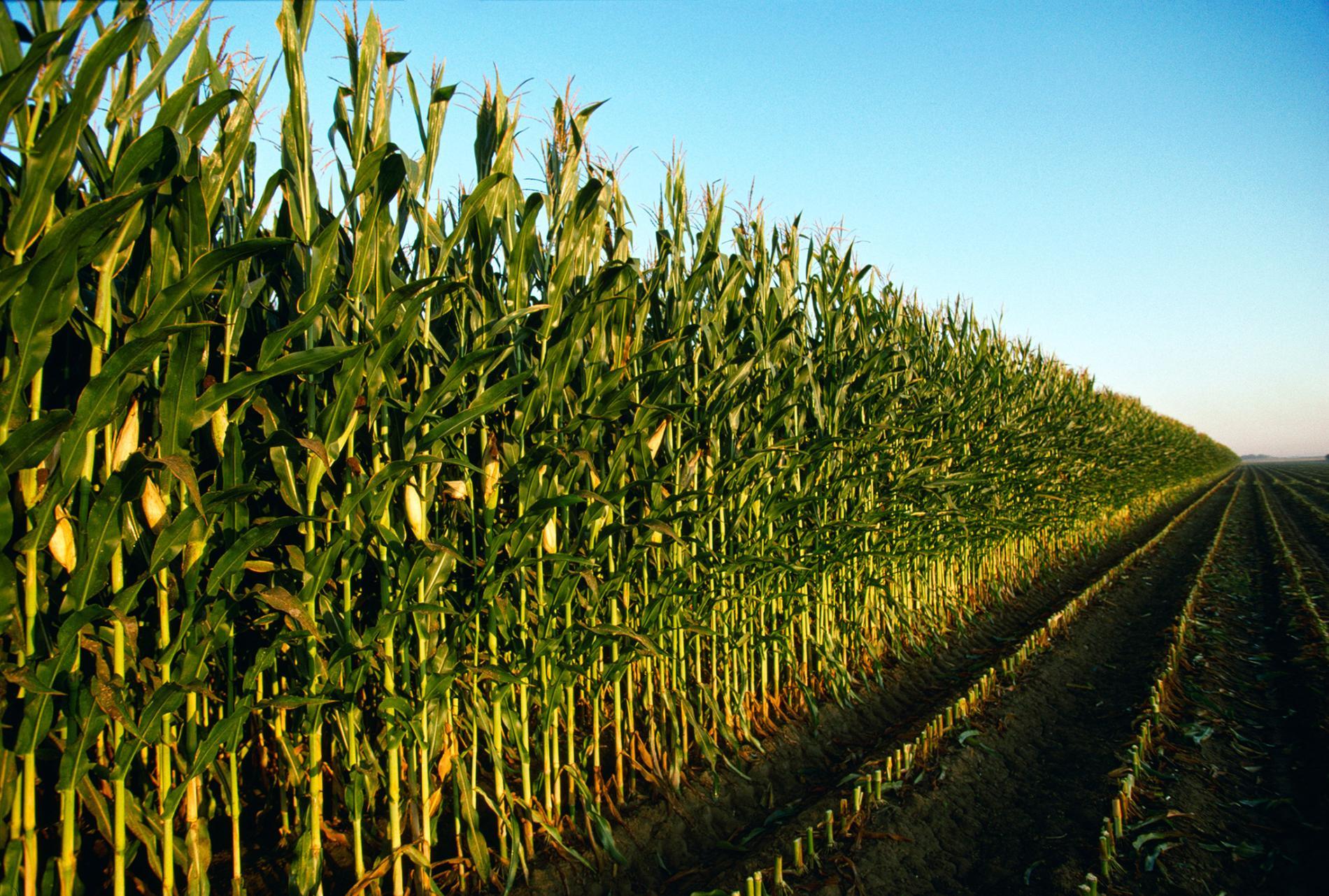 玉米田改變地貌