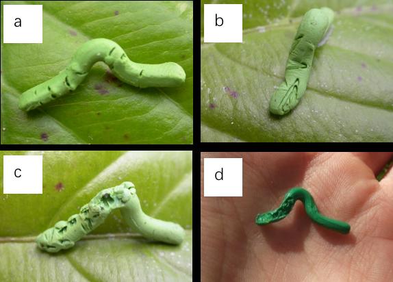 螞蟻(a), 鳥類(b), 囓齒動物(c), 和蛞蝓/蝸牛(d)等在假毛蟲上留下的咬痕。圖片來源:Global Dummy Caterpillar Project
