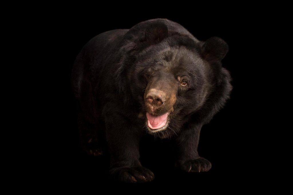 雪怪可能是亞洲黑熊