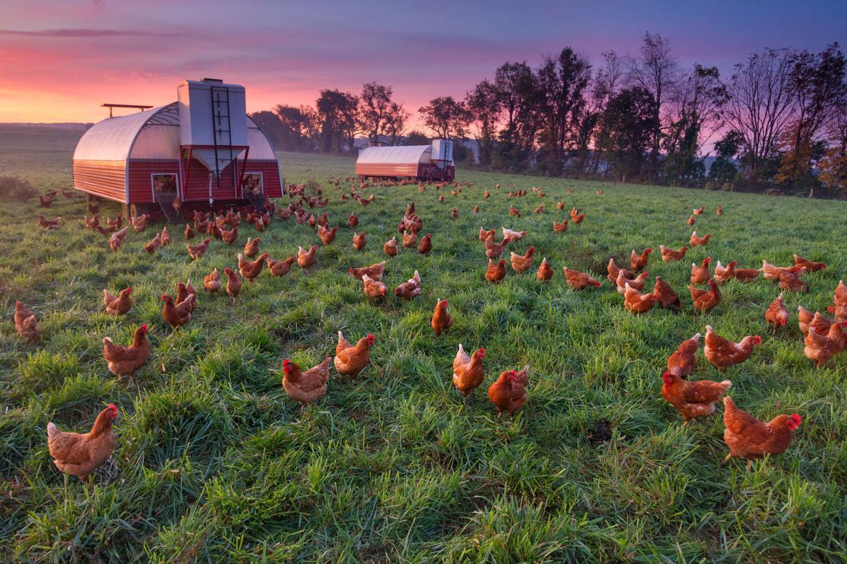 自由自在的雞