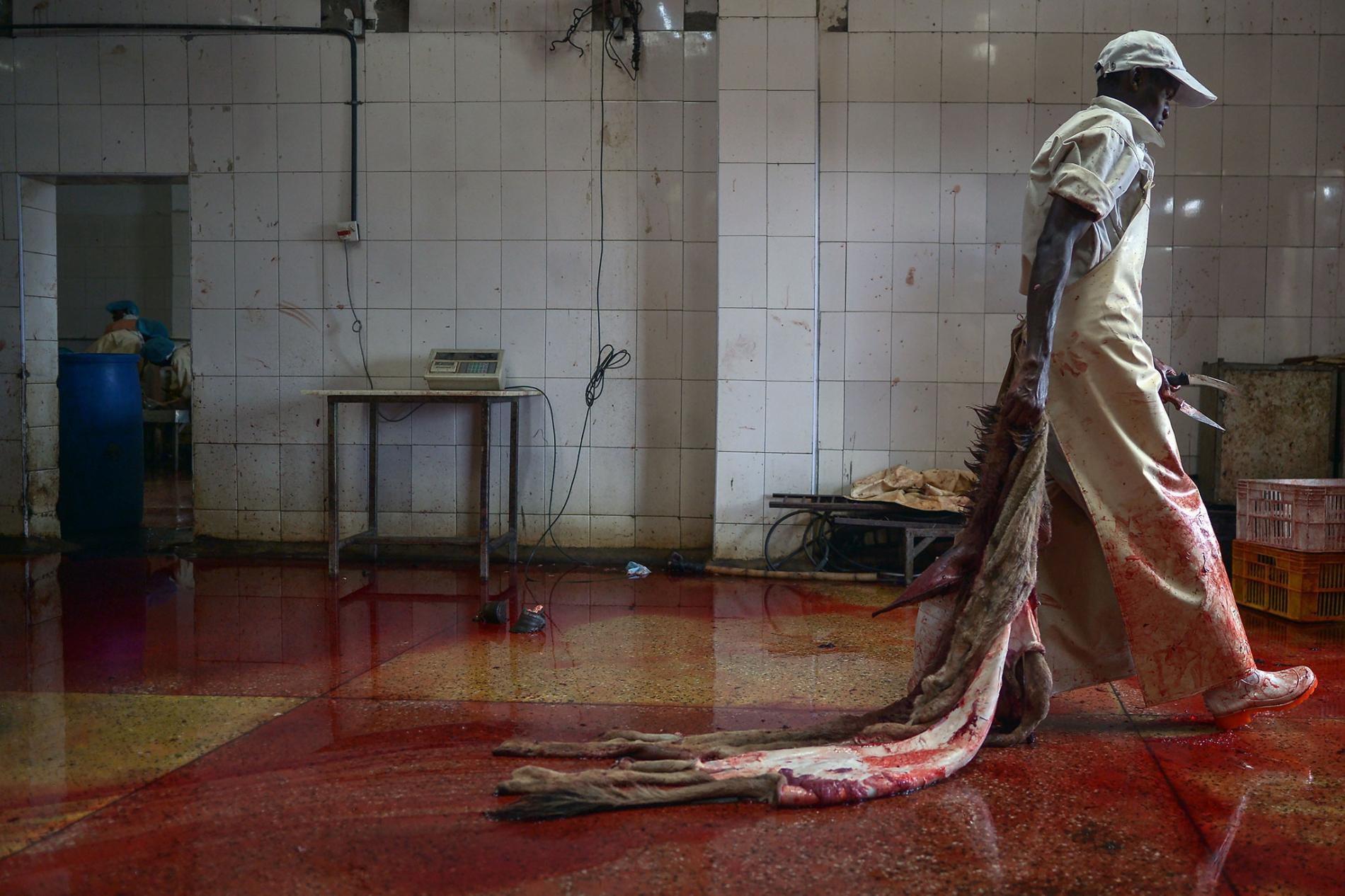 1.中國將驢皮用於製作傳統藥物,但因為該國的驢子數量不足,所以提高從國外進口驢皮的數量。這裡是肯亞一間已獲許可的驢子屠宰場,一名工人拖著一張將要處理的驢皮。 2. PHOTOGRAPH BY TONY KARUMBA, AFP/GETTY