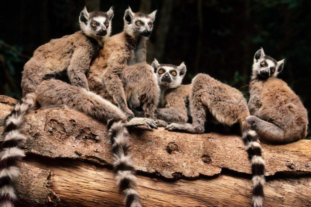 四隻環尾狐猴