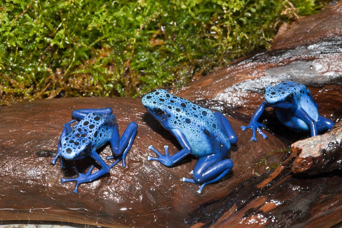 南美洲的箭毒蛙