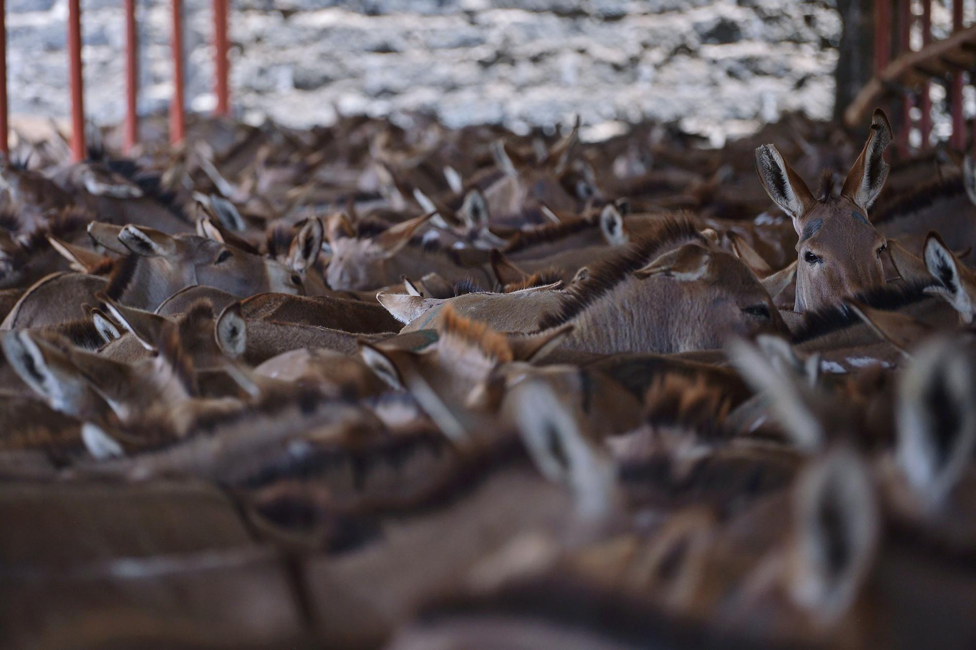 六個非洲國家已關閉屠宰場,試圖遏止驢皮出口,但其他國家仍維持大規模的驢皮出口,如本照片所攝。PHOTOGRAPH BY TONY KARUMBA, AFP/GETTY