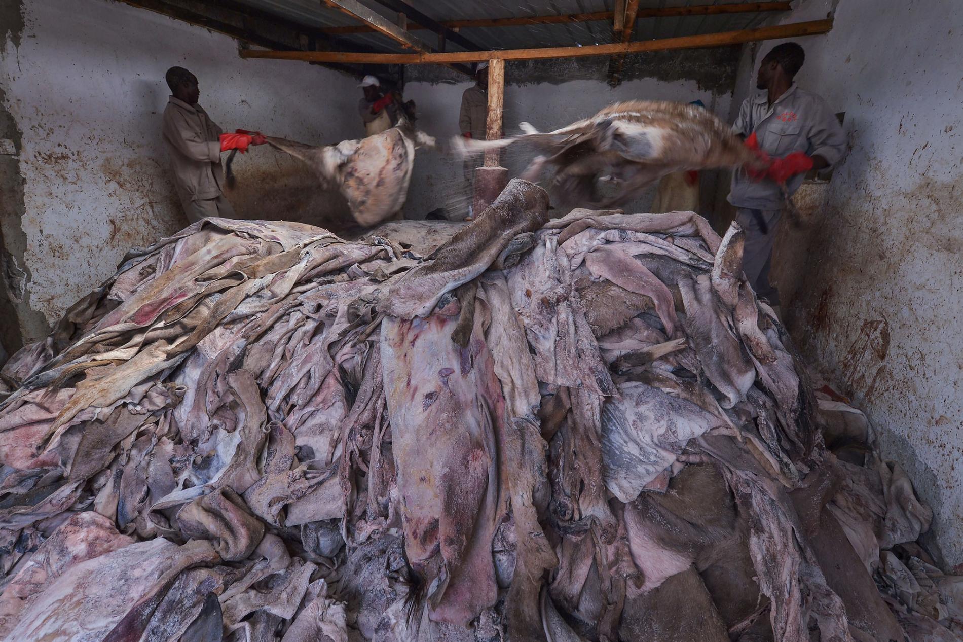 在肯亞一間已獲許可的屠宰場裡,工人抓著尚未處理的驢皮。近年來,非洲開始輸送更多驢皮去中國。PHOTOGRAPH BY TONY KARUMBA, AFP/GETTY
