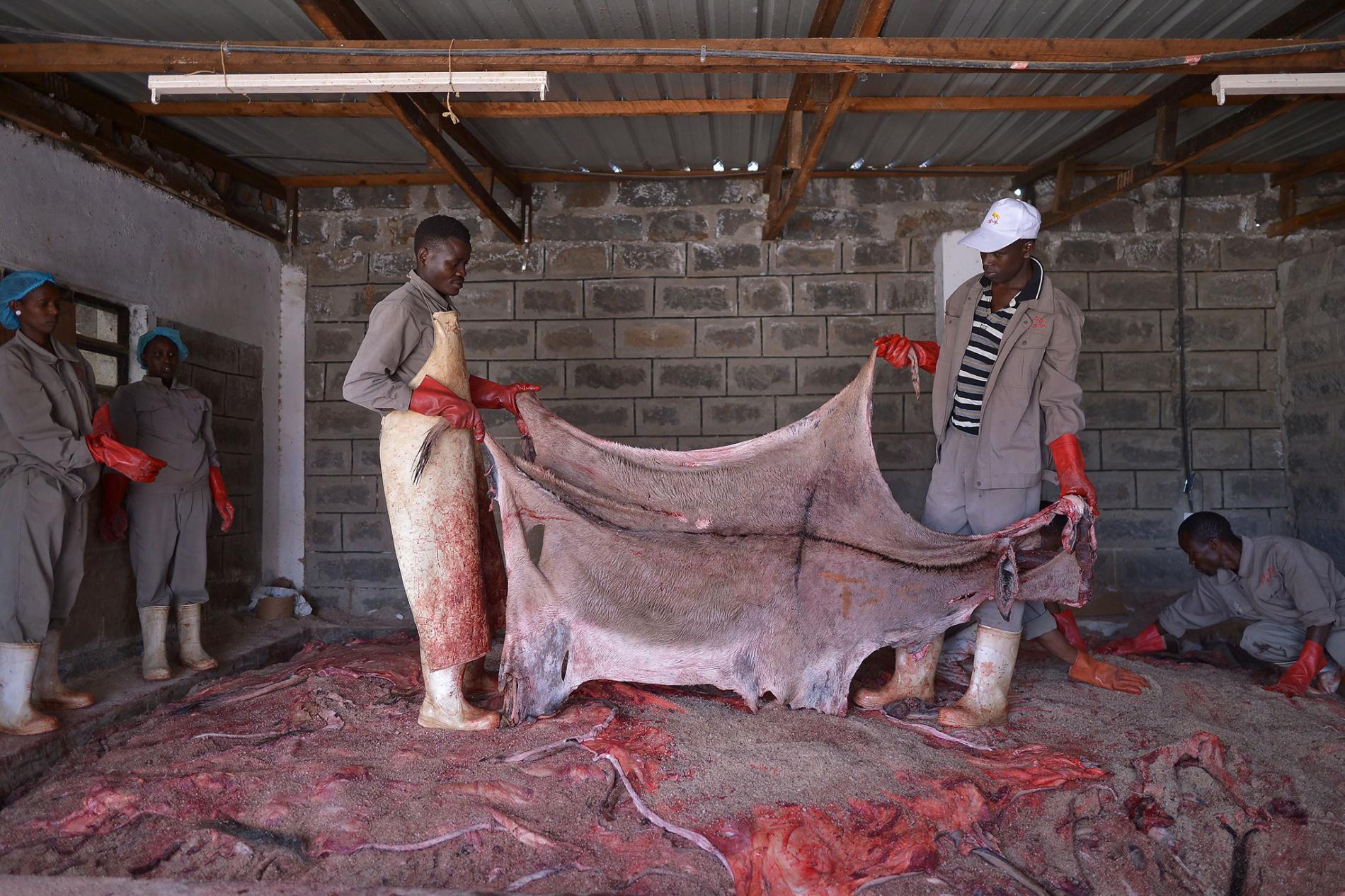 在肯亞一間已獲許可的屠宰場裡,工人準備處理一張驢皮。因為其他國家關閉屠宰場,加上驢皮需求增加,所以地下交易更為活躍。 PHOTOGRAPH BY TONY KARUMBA, AFP/GETTY