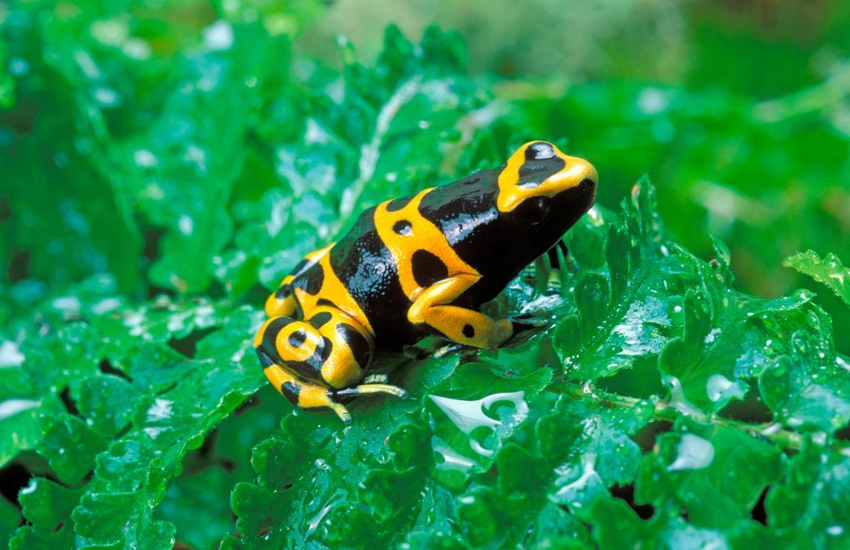 黃黑相間的箭毒蛙