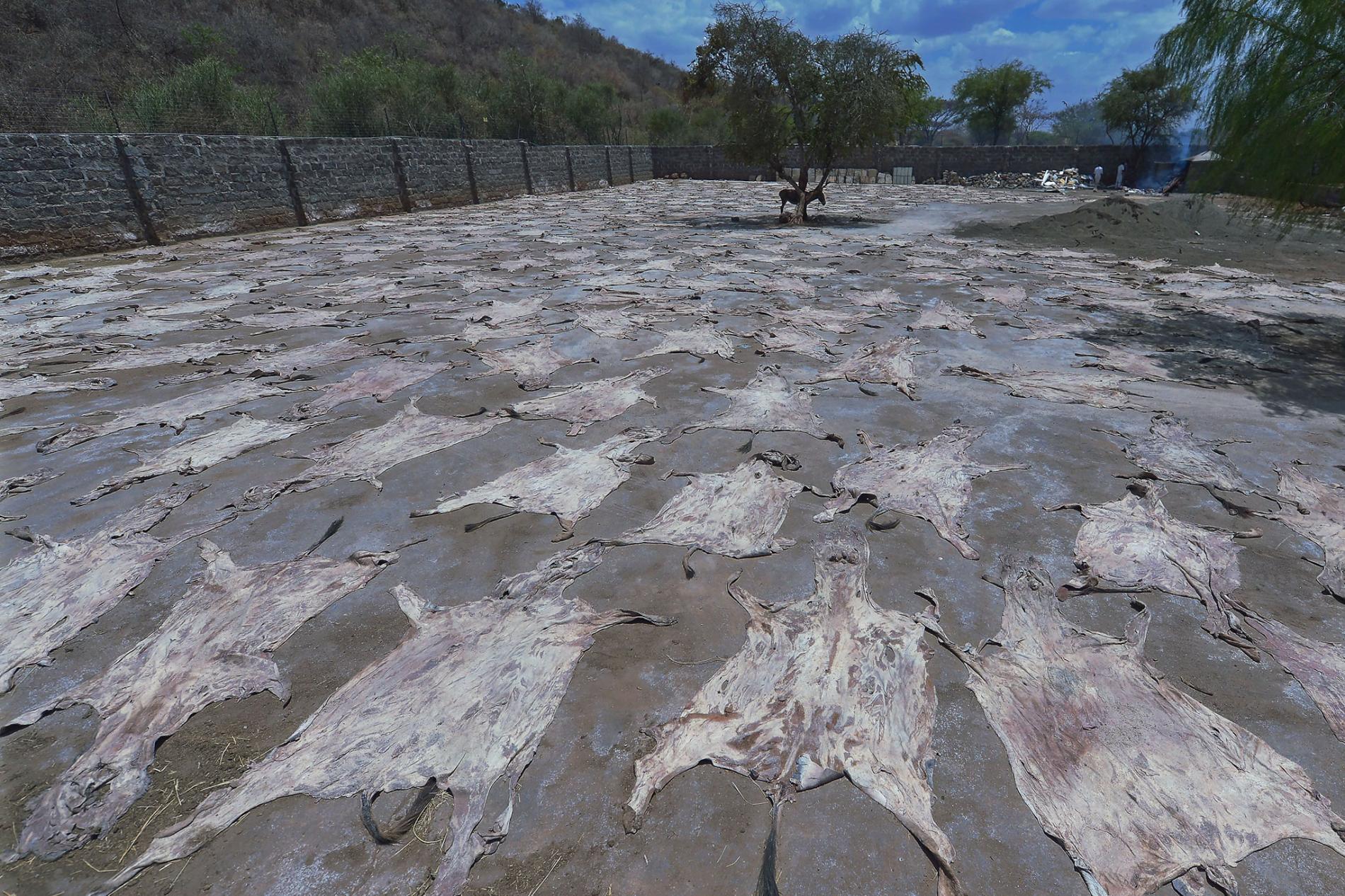 在肯亞一間已獲許可的屠宰場裡,驢皮在太陽下曬乾,同時有一頭驢子在樹蔭下望著這些驢皮。另一方面,南非大部分的驢皮交易都轉為地下活動,野生動物走私犯購買驢皮,然後走私出口。 PHOTOGRAPH BY TONY KARUMBA, AFP/GETTY