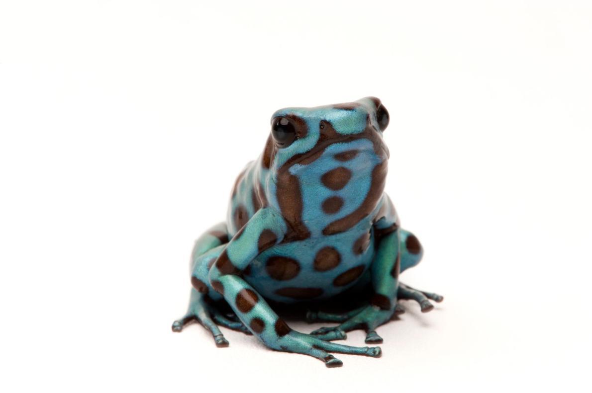 迷彩箭毒蛙