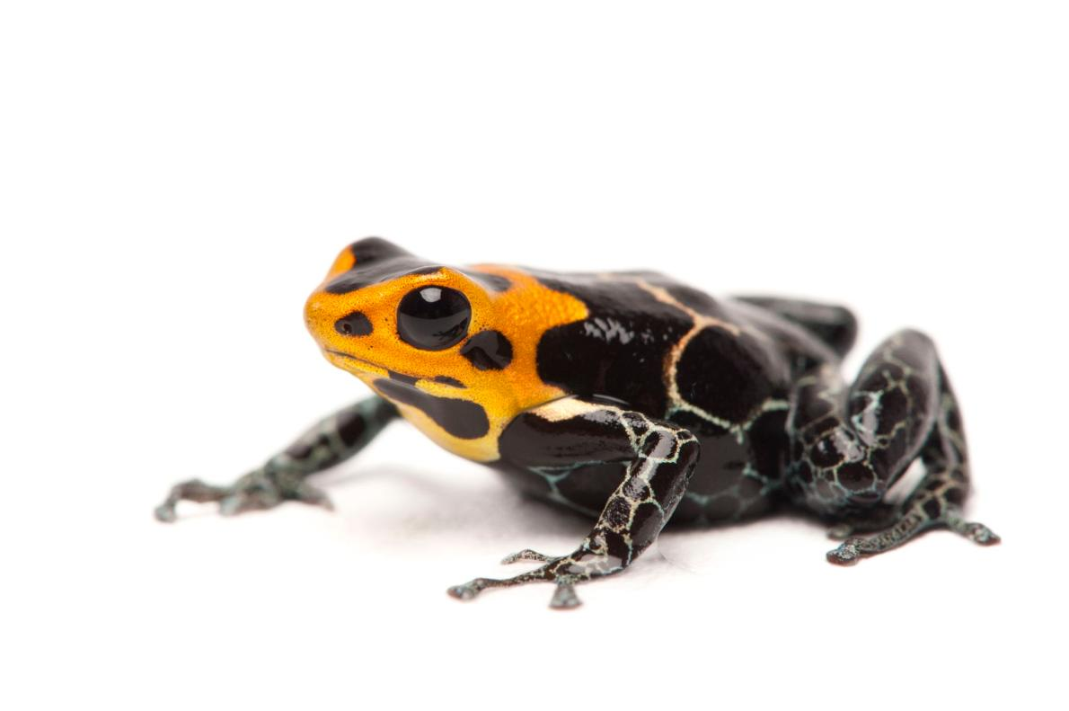 皇冠箭毒蛙