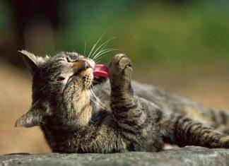 貓口水的細菌