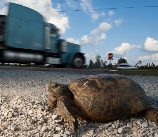 哥法地鼠龜
