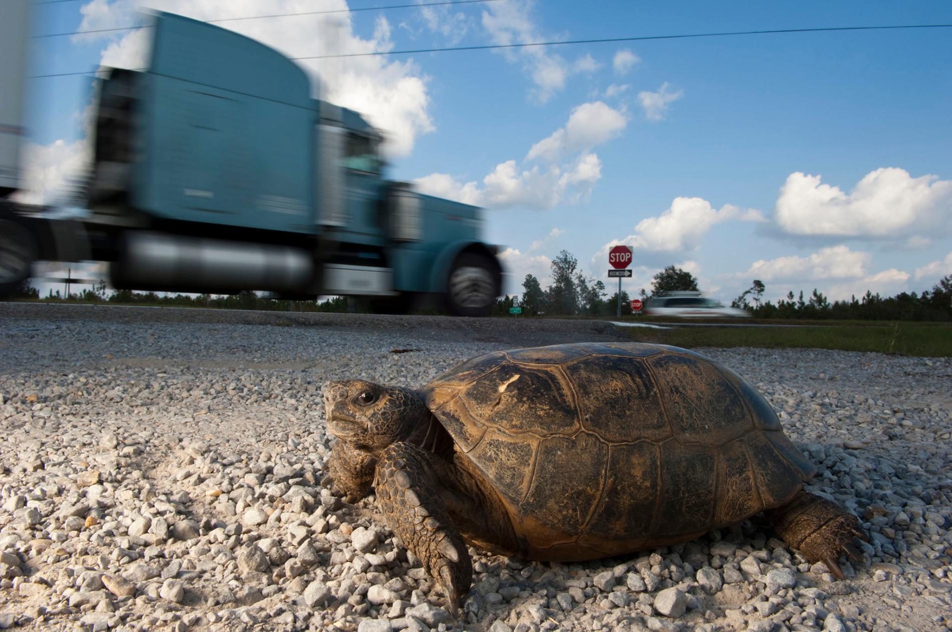 密西西比州的哥法地鼠龜