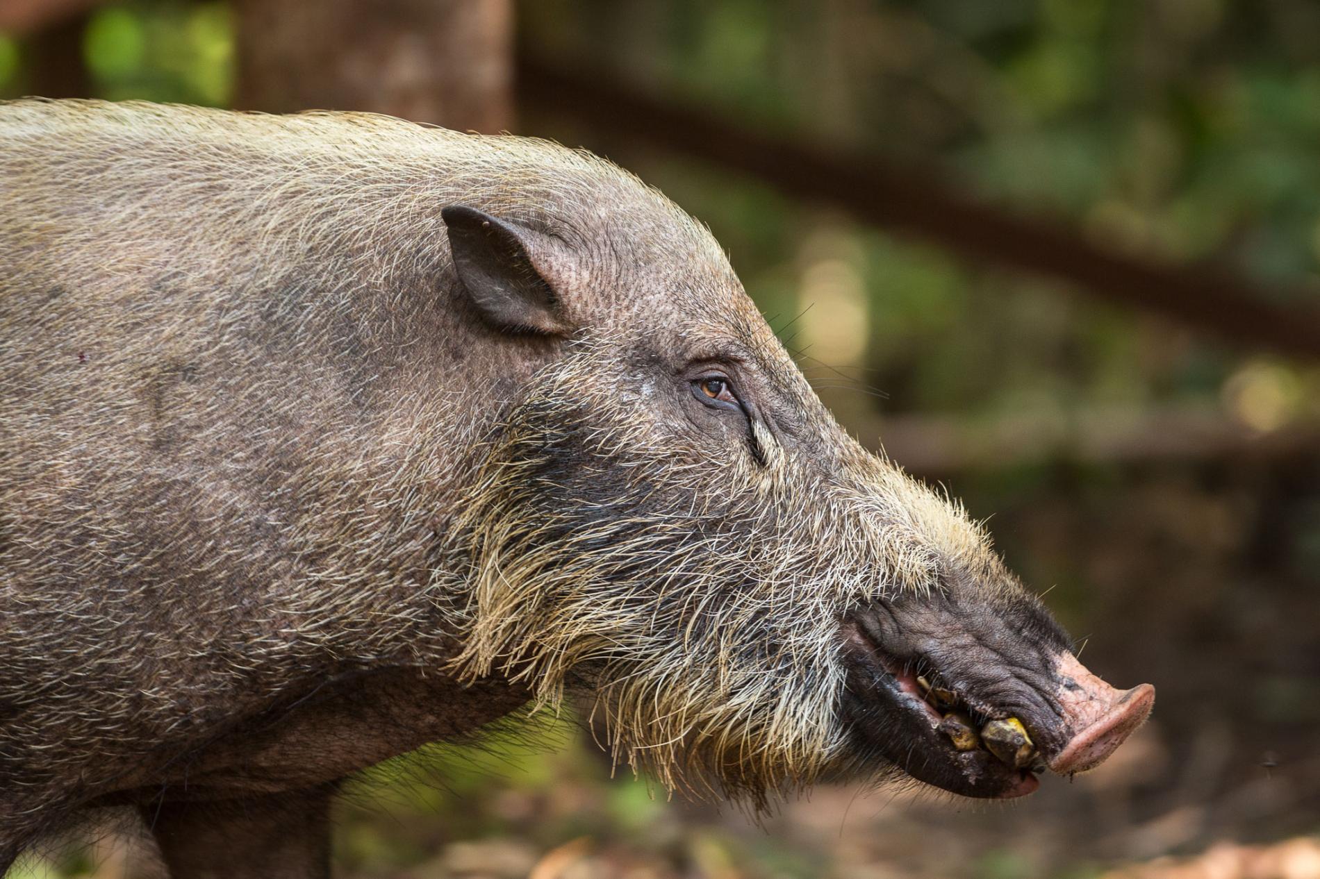 吃香蕉的野豬