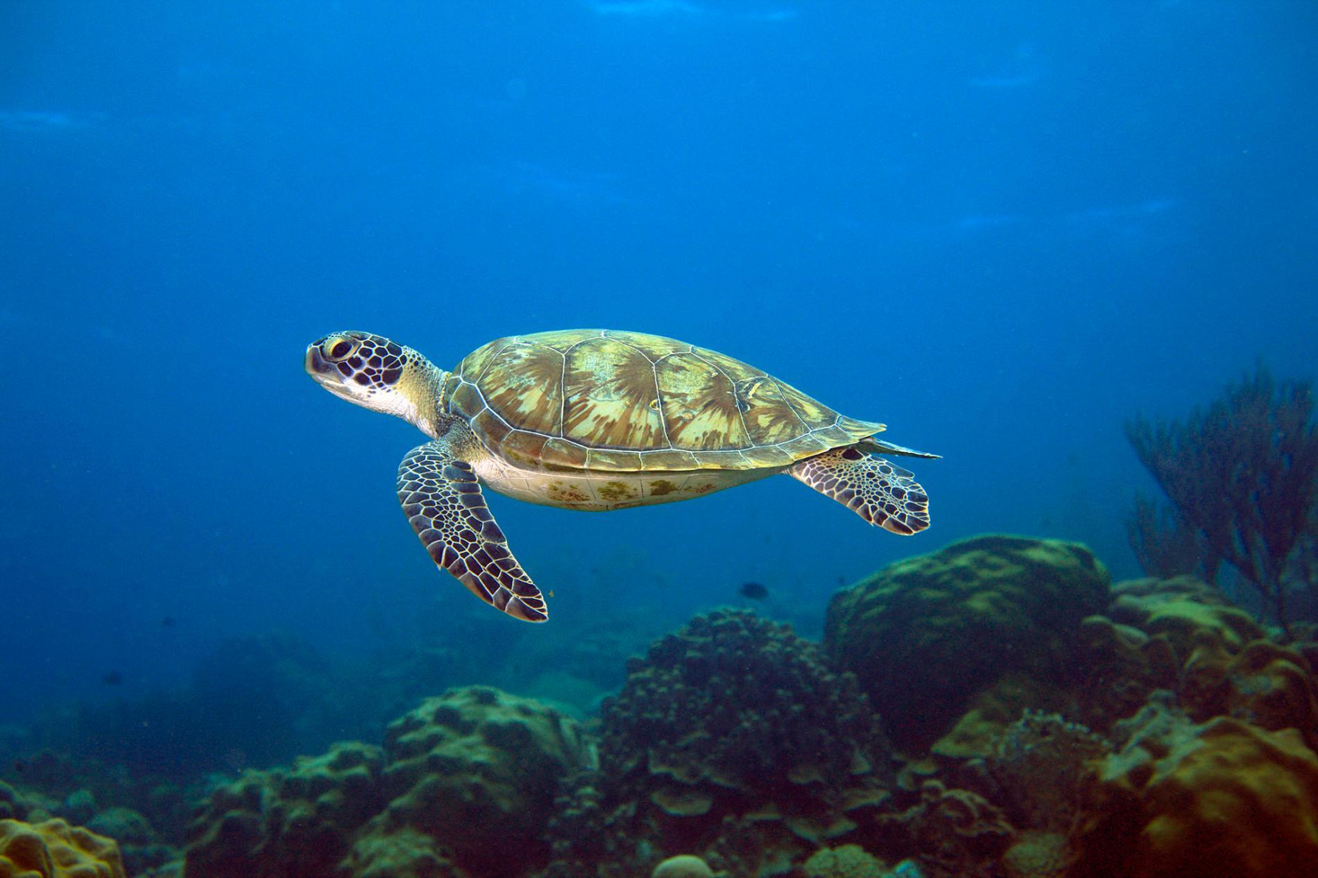 加勒比海的綠蠵龜