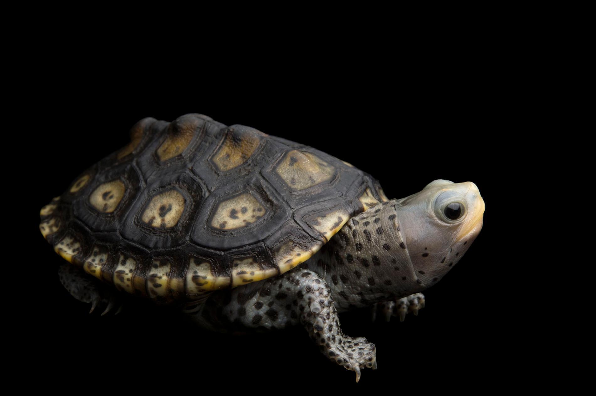 幼年華麗鑽紋龜