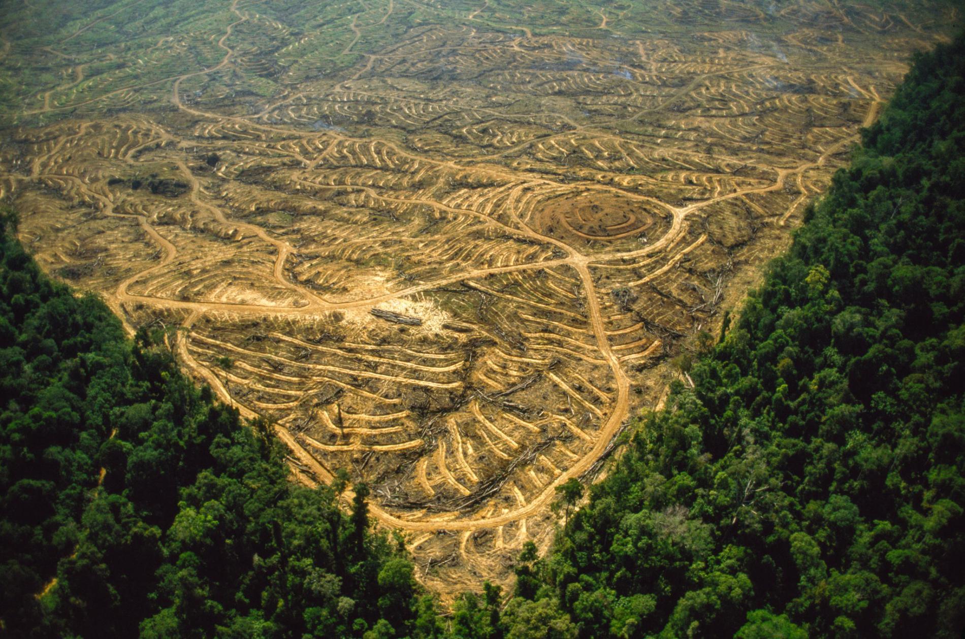 馬來西亞油棕