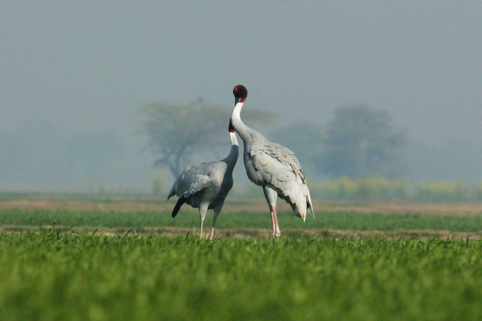 尼泊爾 赤頸鶴