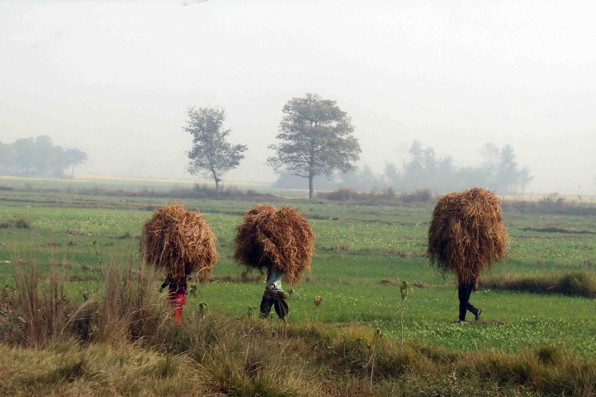 尼泊爾會移動的草堆