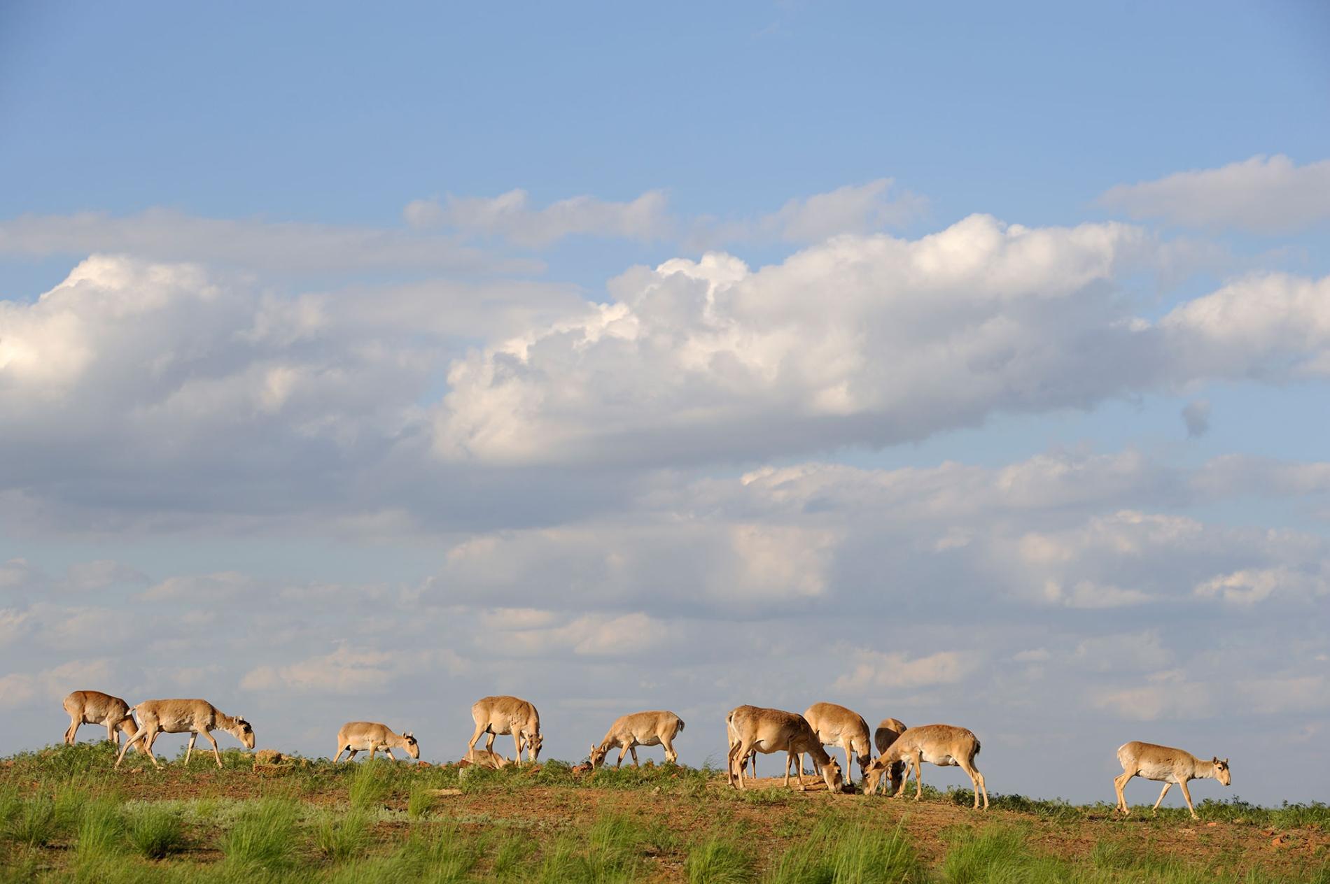 高鼻羚羊在俄國